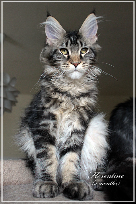 Maine Coon Katzen vom Newanhof - Mainecoon Hobby Zucht ...